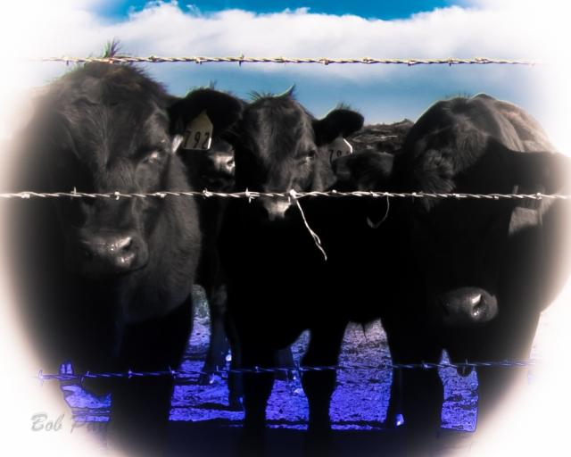 Cow Pow