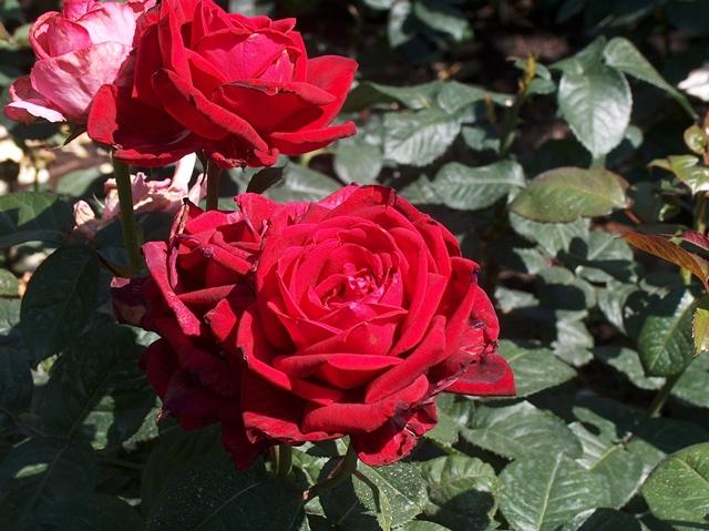 Roses 002-LR